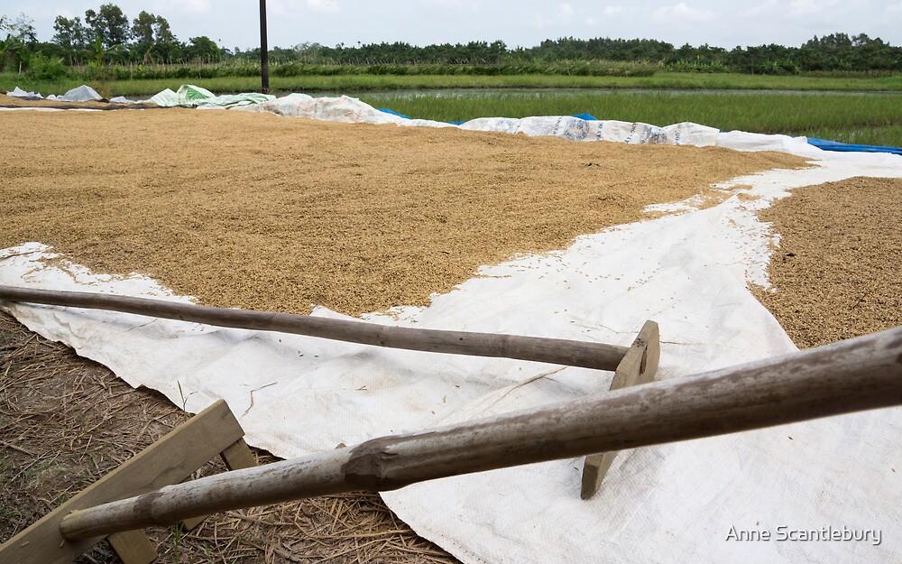rice fields by Anne Scantlebury
