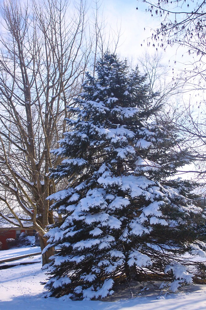 SNOWY SPRUCE by Pauline Evans
