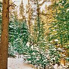 Winter Forest Golden Light by Bo Insogna