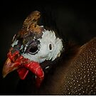 Helmeted Guineafowl by ajgosling