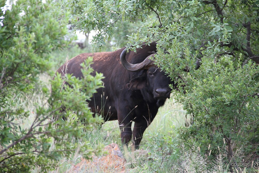 Shy buffalo in South Africa by cocowes
