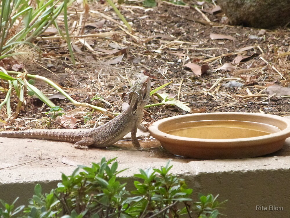 Another Bearded Dragon Lizard about to take a drink.' Mt. Pleasant. S.A. by Rita Blom