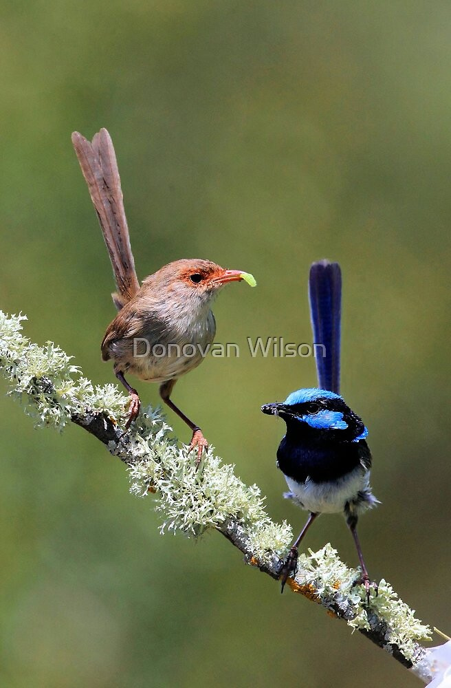 Superb Fairy wrens  by Donovan Wilson