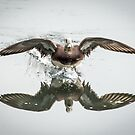 Male Wigeon Landing by toby snelgrove  IPA