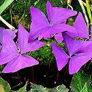 Purple clover by Arie Koene