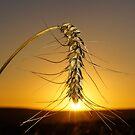 Sunset Wheat by Anton Alberts