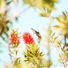 hummingbird by cmpotts