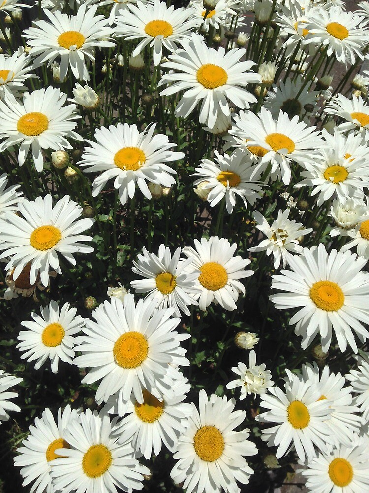 Daisies by zijing