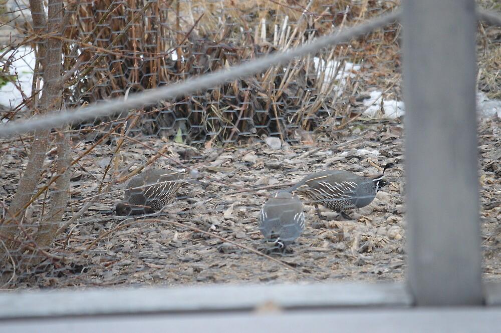 quail by tbaslington