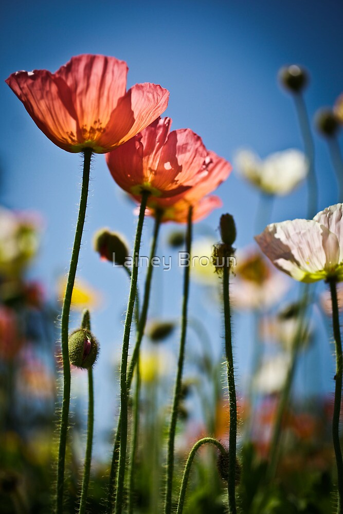 Wild Poppies  by Lainey Brown
