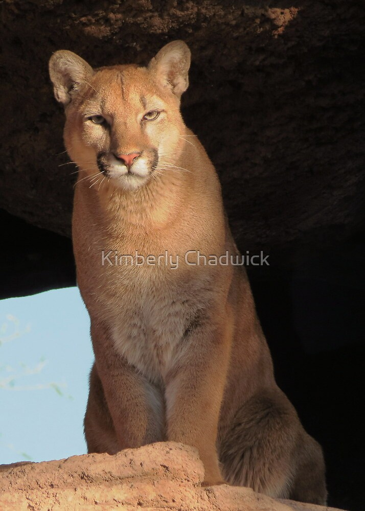 Mountain Lion Cub ~ Cruz by Kimberly Chadwick