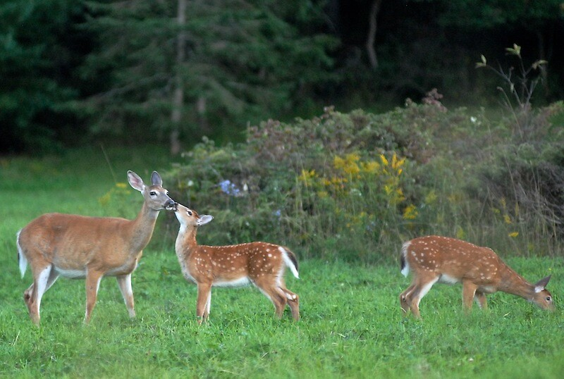Doe & Twin Fawns by tmcgarry