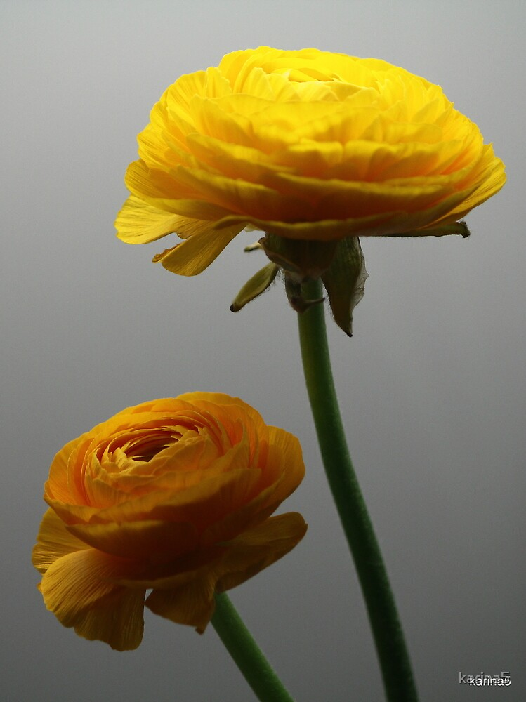 Ranunculus by karina5