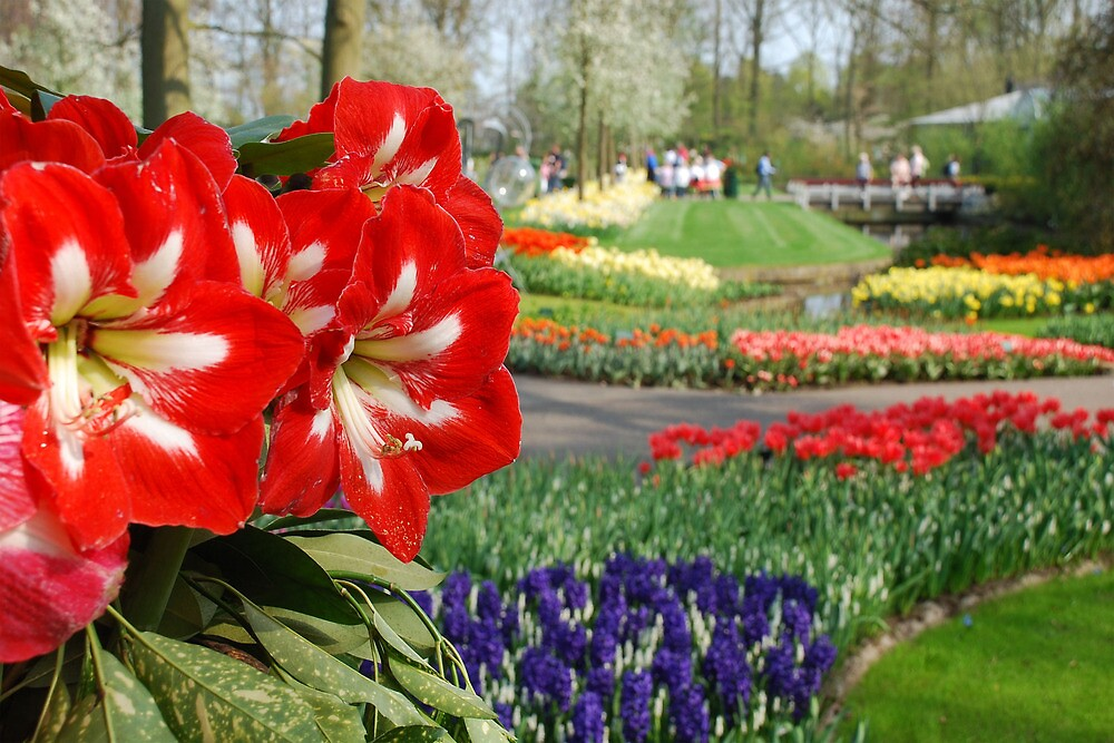 The Keukenhof is open again by Arie Koene