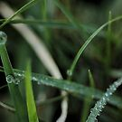 Morning Dew by Lacy O.
