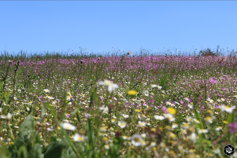 Flower Field by fordproductions