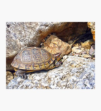 Box Turtle Photographic Print