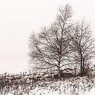 Birch by Pete5