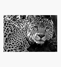 Jaguar (1) Photographic Print
