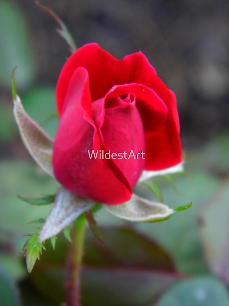 One Rose by WildestArt