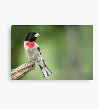 Looking Back - Male Rose-breasted Grosbeak (Spring visitor to area) Canvas Print