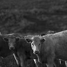 Bovine III by iltby