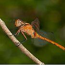 Fiery Skimmer Dragonfly - Orthetrum villosovittatum by Andrew Trevor-Jones