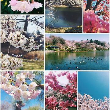 Beautiful Sakura Cherry Blossoms Park Pond Garden Spring by beverlyclaire