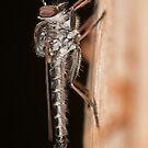 Robber Fly - Ommatius sp. by Andrew Trevor-Jones