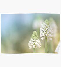 Dreamy Grape Hyacinth.... Poster