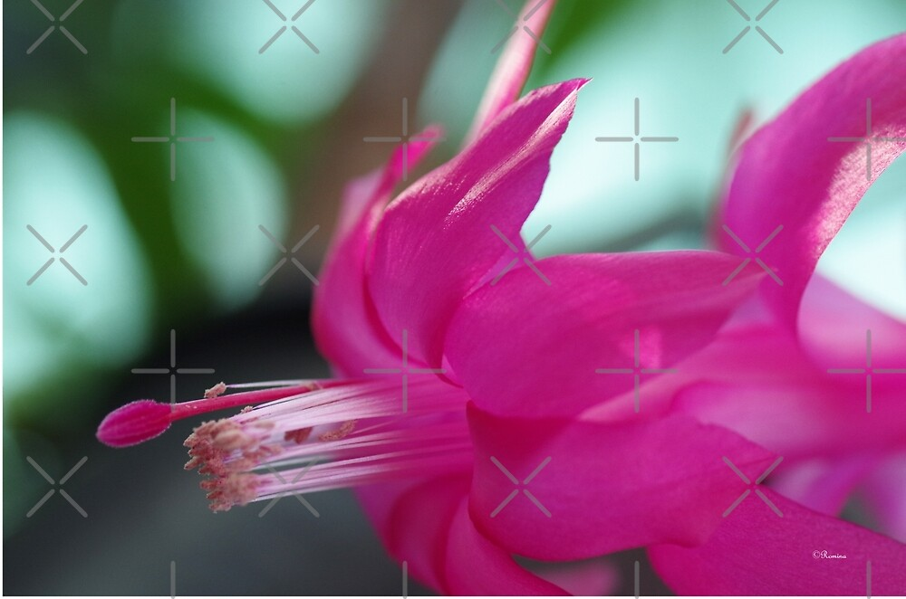 Pink Cactus flower by rom01