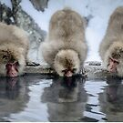 Three Snow Monkeys by Robert van Koesveld