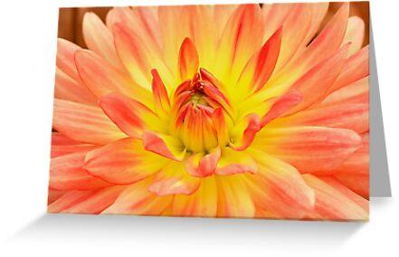 Orange georgina flower closeup by skyfish