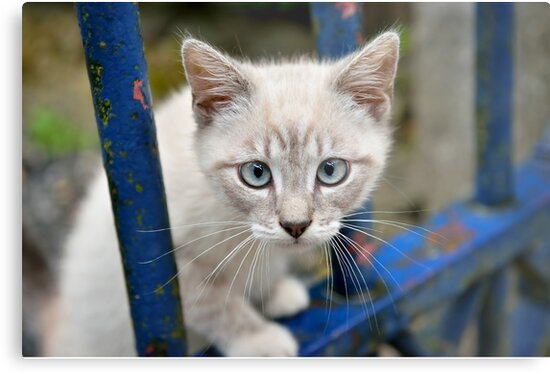 Kitten with blue eyes on the street by skyfish