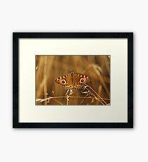 Meadow Argus (Junonia Villida) Butterfly Framed Print