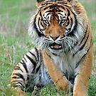 Sumantran Tiger. Orana Wildlife Park, New Zealand. by Ralph de Zilva