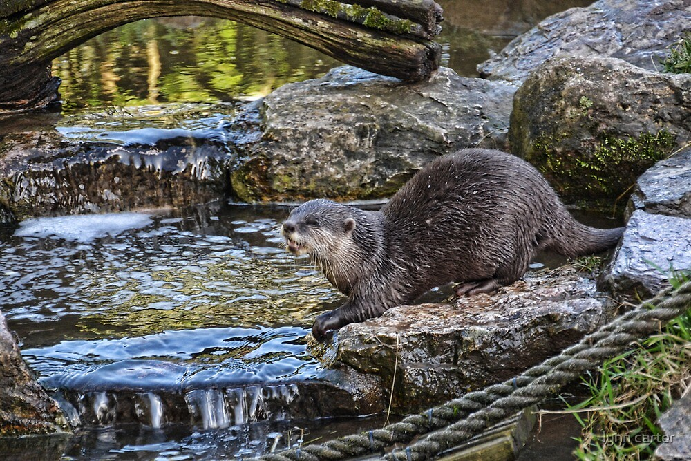 One Of The Family Of European Otters by lynn carter