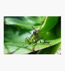 Gaudy grasshopper Photographic Print
