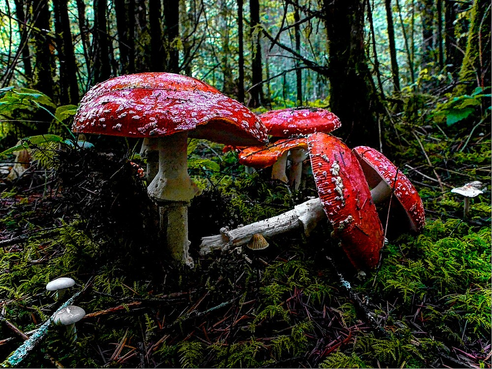 I Fell For You ~ Amanita muscaria ~ by Charles & Patricia   Harkins ~ Picture Oregon