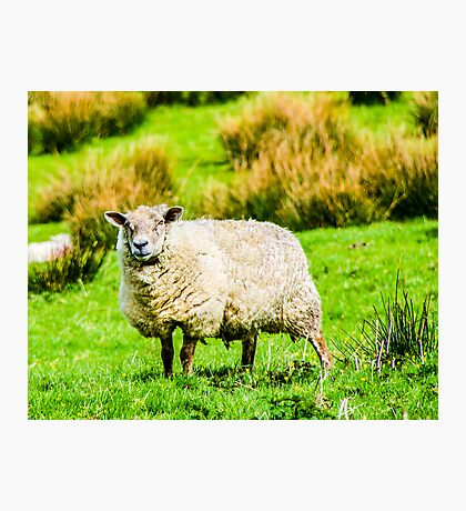 Portrait of a Sheep Photographic Print