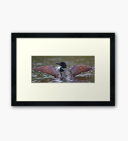 Loon Stretch - Common Loon Framed Print