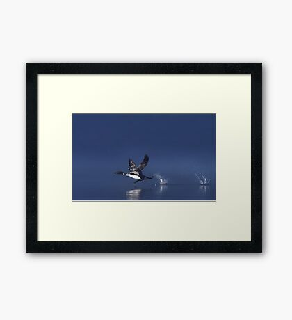 Flight of the Loon - Common Loon, Wilson Lake Framed Print