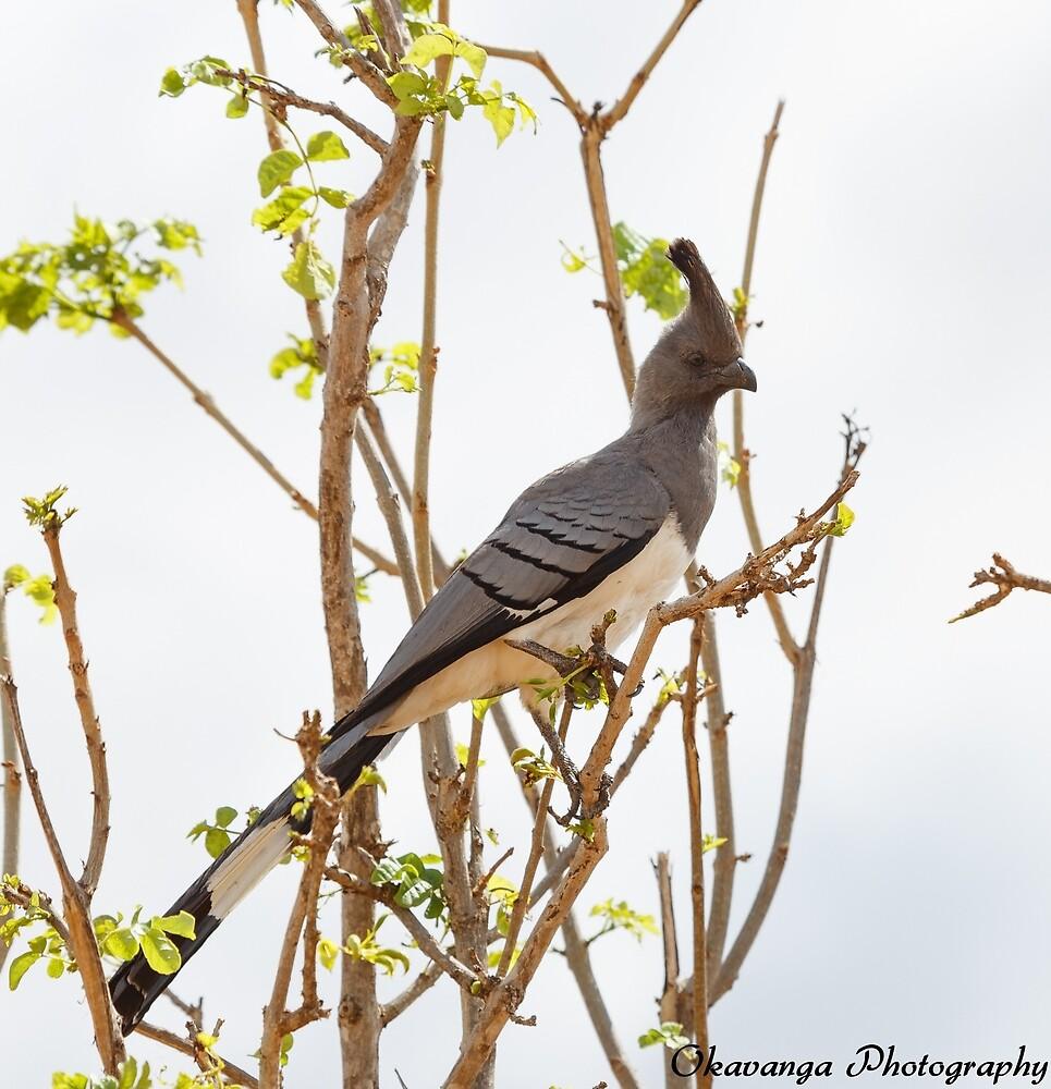 White-Bellied Go-Away Bird by Okavanga