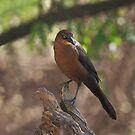 Great-tailed Grackle - Female by Richard G Witham