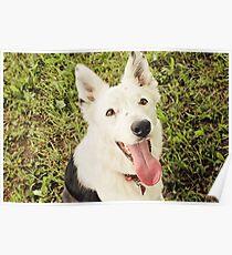 Cattledog smile Poster