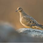 Mourning Dove On Rock by Michael Cummings