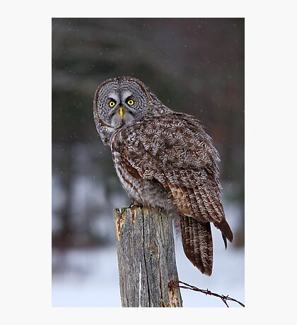 Piss Off! - Great Grey Owl Photographic Print