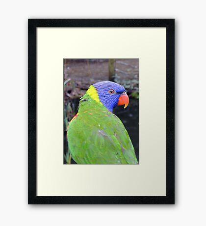 Rainbow Lorikeet Framed Print