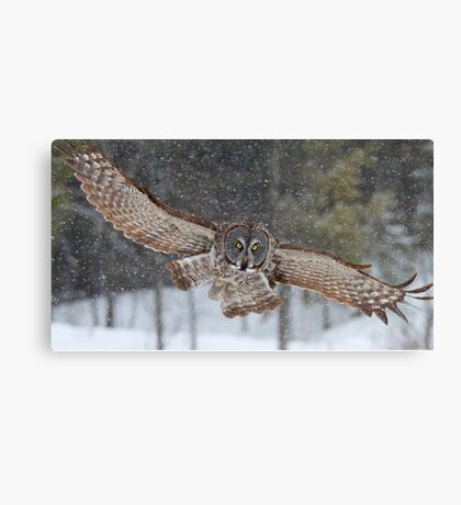 Duck! - Great Grey Owl Canvas Print
