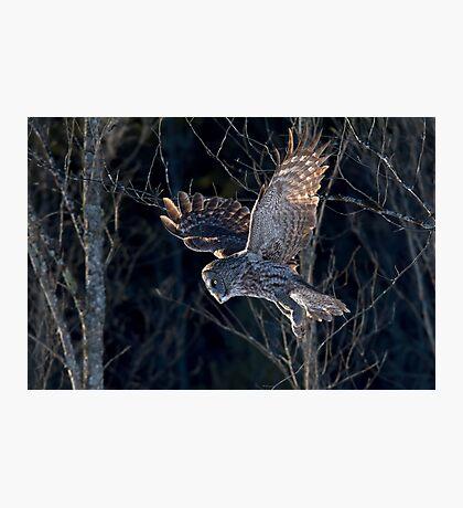Great Grey Owl Photographic Print